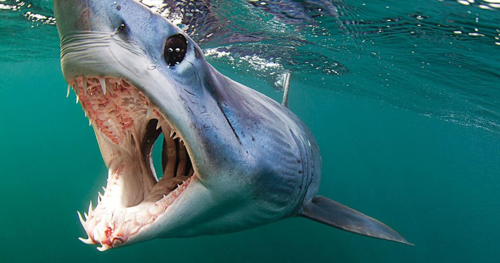 Mako shark in the ocean - close photo