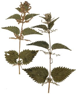 two detailed pieces of nettle herb on white background
