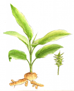 turmeric with root on white background